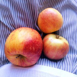 Apples in my lap